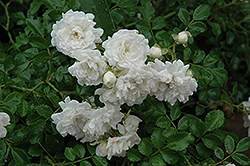 White Drift® Rose (Rosa 'Meizorland') at Homestead Gardens