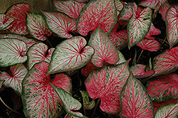 Carolyn Whorton Caladium (Caladium 'Carolyn Whorton') at Homestead Gardens