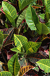 Variegated Croton (Codiaeum variegatum) at Homestead Gardens