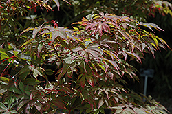 Bonnie Bergman Japanese Maple (Acer palmatum 'Bonnie Bergman') at Homestead Gardens