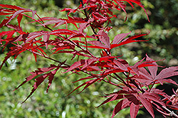 Inazuma Japanese Maple (Acer palmatum 'Inazuma') at Homestead Gardens