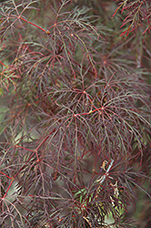 Red Feathers Japanese Maple (Acer palmatum 'Red Feathers') at Homestead Gardens