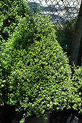Compact Japanese Holly (Ilex crenata 'Compacta') at Homestead Gardens