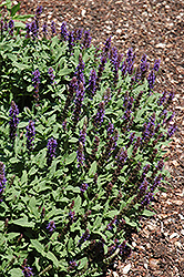 Sensation Blue Meadow Sage (Salvia nemorosa 'Sensation Blue') at Homestead Gardens