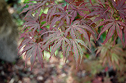 Mikazuki Japanese Maple (Acer palmatum 'Mikazuki') at Homestead Gardens