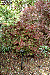 Brandt's Dwarf Japanese Maple (Acer palmatum 'Brandt's Dwarf') at Homestead Gardens