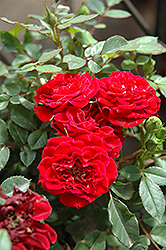 Red Sunblaze® Rose (Rosa 'Meirutral') at Homestead Gardens