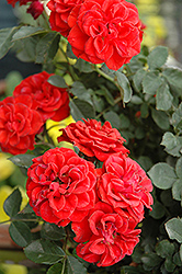 Autumn Sunblaze® Rose (Rosa 'Meiferjac') at Homestead Gardens