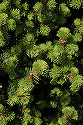 Sherwood Compact Norway Spruce (Picea abies 'Sherwood Compact') at Homestead Gardens