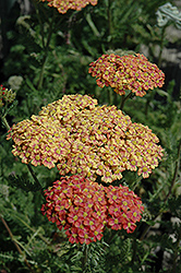 Desert Eve™ Terracotta Yarrow (Achillea millefolium 'Desert Eve Terracotta') at Homestead Gardens