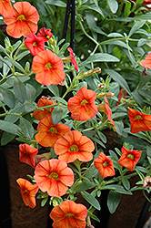 Superbells® Dreamsicle Calibrachoa (Calibrachoa 'Superbells Dreamsicle') at Homestead Gardens
