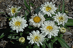 Freak! Shasta Daisy (Leucanthemum x superbum 'Freak!') at Homestead Gardens