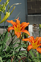 Orange Daylily (Hemerocallis fulva) at Homestead Gardens