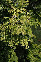 Gold Rush Dawn Redwood (Metasequoia glyptostroboides 'Gold Rush') at Homestead Gardens