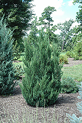 Blue Point Juniper (Juniperus chinensis 'Blue Point') at Homestead Gardens