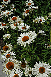 Fragrant Angel White Coneflower (Echinacea purpurea 'Fragrant Angel') at Homestead Gardens