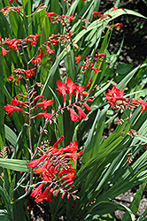 Emberglow Crocosmia (Crocosmia 'Emberglow') at Homestead Gardens