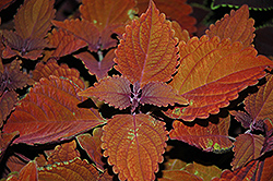 Wall Street Coleus (Solenostemon scutellarioides 'Wall Street') at Homestead Gardens