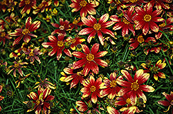 Route 66 Tickseed (Coreopsis verticillata 'Route 66') at Homestead Gardens