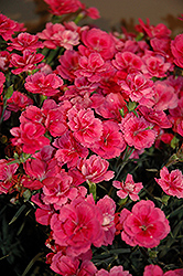 EverLast™ Dark Pink Pinks (Dianthus 'EverLast Dark Pink') at Homestead Gardens