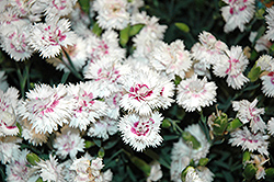 EverLast™ White plus Eye Pinks (Dianthus 'EverLast White plus Eye') at Homestead Gardens