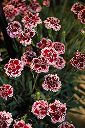EverLast™ Lilac plus Eye Pinks (Dianthus 'EverLast Lilac Plus Eye') at Homestead Gardens