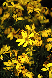 Electric Avenue Tickseed (Coreopsis verticillata 'Electric Avenue') at Homestead Gardens