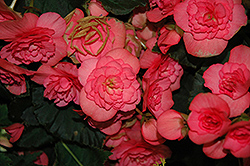 Solenia® Pink Begonia (Begonia 'Solenia Pink') at Homestead Gardens
