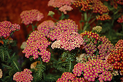 New Vintage Rose Yarrow (Achillea millefolium 'Balvinrose') at Homestead Gardens
