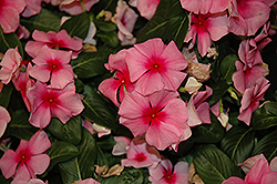 Cora® Cascade Strawberry Vinca (Catharanthus roseus 'Cora Cascade Strawberry') at Homestead Gardens