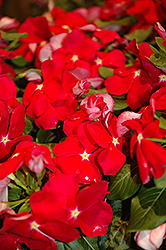 Cora® Red Vinca (Catharanthus roseus 'Cora Red') at Homestead Gardens