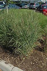 Ruby Ribbons Switch Grass (Panicum virgatum 'Ruby Ribbons') at Homestead Gardens