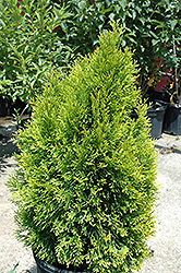Highlights Arborvitae (Thuja occidentalis 'Janed Gold') at Homestead Gardens