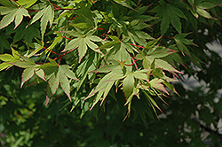 Tobiosho Japanese Maple (Acer palmatum 'Tobiosho') at Homestead Gardens