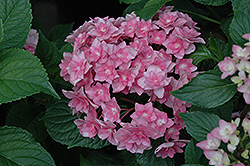 Expression Hydrangea (Hydrangea macrophylla 'Rie 06') at Homestead Gardens