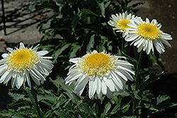 Real Glory Shasta Daisy (Leucanthemum x superbum 'Real Glory') at Homestead Gardens