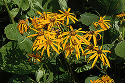 Othello Rayflower (Ligularia dentata 'Othello') at Homestead Gardens