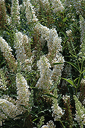 Buzz Ivory Butterfly Bush (Buddleia 'Tobuivo') at Homestead Gardens