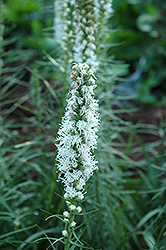 White Blazing Star (Liatris spicata 'Alba') at Homestead Gardens