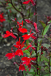 Fan Scarlet Cardinal Flower (Lobelia x speciosa 'Fan Scarlet') at Homestead Gardens