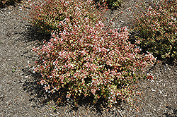 Sunshine Daydream Abelia (Abelia x grandiflora 'Abelops') at Homestead Gardens