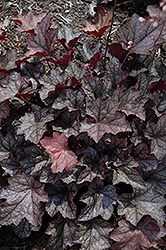 Carnival Plum Crazy Coral Bells (Heuchera 'Plum Crazy') at Homestead Gardens