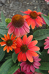 Sombrero® Hot Coral Coneflower (Echinacea 'Balsomcor') at Homestead Gardens
