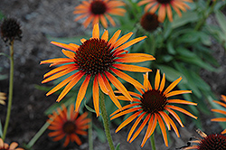 Flame Thrower Coneflower (Echinacea 'Flame Thrower') at Homestead Gardens