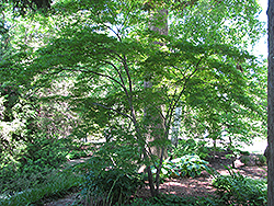 Linearilobum Japanese Maple (Acer palmatum 'Linearilobum') at Homestead Gardens