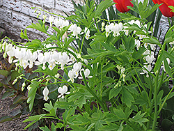 White Bleeding Heart (Dicentra spectabilis 'Alba') at Homestead Gardens