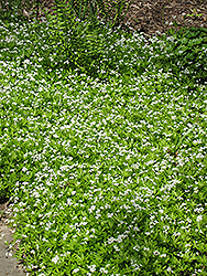 Sweet Woodruff (Galium odoratum) at Homestead Gardens