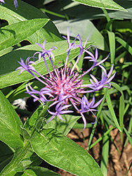 Blue Cornflower (Centaurea montana 'Blue') at Homestead Gardens