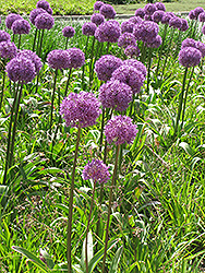 Giant Onion (Allium giganteum) at Homestead Gardens