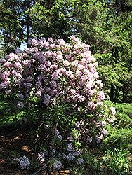 Catawba Rhododendron (Rhododendron catawbiense) at Homestead Gardens